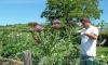 P0519 Gaertner mit großer Artischockenpflanze