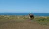 P0739 Kueste mit Pferden
